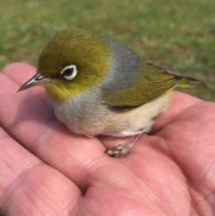 Zosterops lateralis (Silvereye) at Peak View, NSW - 13 Oct 2020 by Hank
