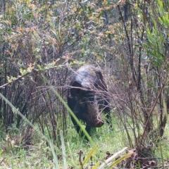 Sus scrofa (Feral Pig) at Mongarlowe River - 7 Nov 2020 by LisaH