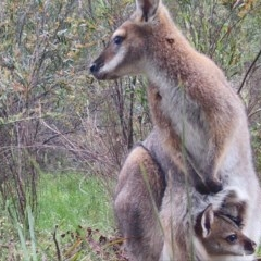 Macropus rufogriseus (Red-necked Wallaby) at Mongarlowe River - 4 Nov 2020 by LisaH