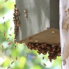 Apis mellifera (European Honey Bee) at Clyde Cameron Reserve - 17 Nov 2020 by Kyliegw