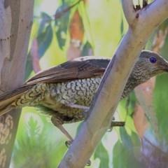 Ptilonorhynchus violaceus (Satin Bowerbird) at Clyde Cameron Reserve - 17 Nov 2020 by Kyliegw