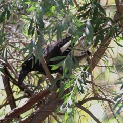Strepera graculina (Pied Currawong) at Clyde Cameron Reserve - 17 Nov 2020 by Kyliegw