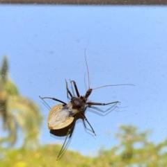 Pristhesancus plagipennis (TBC) at Noosa Heads, QLD - 15 Nov 2020 by CaitlinW