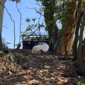 Alectura lathami (Australian Brush-turkey) at Noosa Heads, QLD by CaitlinW