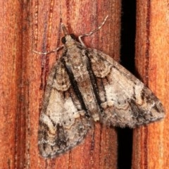 Microdes undescribed species (genus) (A Geometer moth) at Melba, ACT - 11 Nov 2020 by kasiaaus