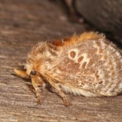 Pseudanapaea sp. (genus) (A cup moth) at Melba, ACT - 11 Nov 2020 by kasiaaus