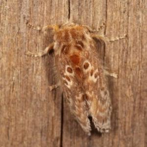 Pseudanapaea (genus) at Melba, ACT - 11 Nov 2020