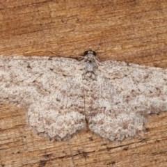 Psilosticha absorpta (Fine-waved Bark Moth) at Melba, ACT - 11 Nov 2020 by kasiaaus