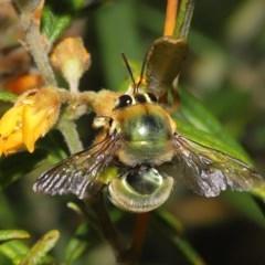 Xylocopa aeratus (Metallic Green Carpenter Bee) at ANBG - 17 Nov 2020 by TimL