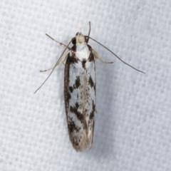 Eusemocosma pruinosa (A Concealer moth) at Melba, ACT - 11 Nov 2020 by kasiaaus
