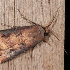 Agrotis ipsilon (Black Cutworm) at Melba, ACT - 11 Nov 2020 by kasiaaus