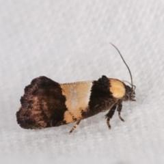 Eupselia axiepaena (A Twig moth) at Melba, ACT - 11 Nov 2020 by kasiaaus