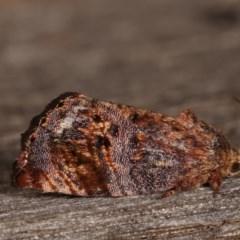 Peritropha oligodrachma (A twig moth) at Melba, ACT - 11 Nov 2020 by kasiaaus