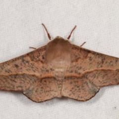 Antictenia punctunculus (A geometer moth) at Melba, ACT - 11 Nov 2020 by kasiaaus