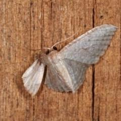 Poecilasthena pulchraria (Australian Cranberry Moth) at Melba, ACT - 11 Nov 2020 by kasiaaus