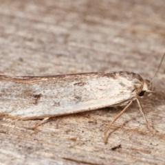 Philobota productella (Pasture Tunnel Moth) at Melba, ACT - 11 Nov 2020 by kasiaaus