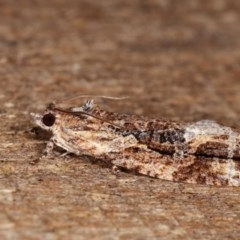 Thrincophora lignigerana (A Tortricid moth) at Melba, ACT - 11 Nov 2020 by kasiaaus