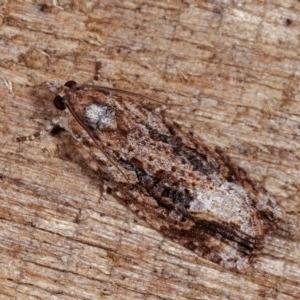 Thrincophora lignigerana at Melba, ACT - 11 Nov 2020