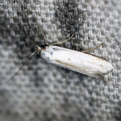 Philobota productella (Pasture Tunnel Moth) at O'Connor, ACT - 10 Nov 2020 by ibaird