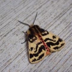 Spilosoma curvata (Crimson Tiger Moth) at Pialligo, ACT - 17 Nov 2020 by Ghostbat