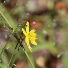 Tricoryne elatior (Yellow Rush Lily) at Hughes, ACT - 18 Nov 2020 by LisaH