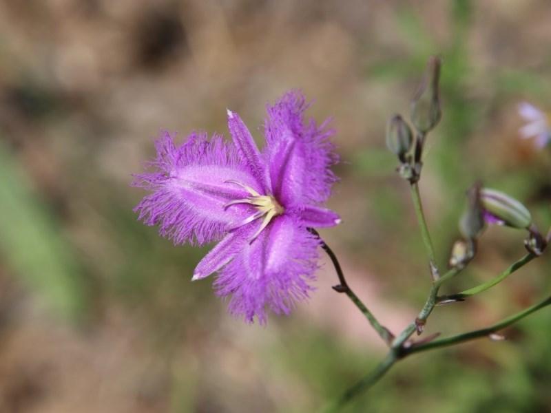 Thysanotus tuberosus subsp. tuberosus at Red Hill Nature Reserve - 18 Nov 2020