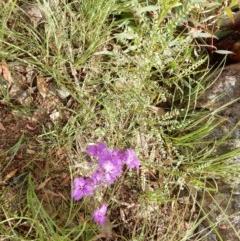 Thysanotus tuberosus subsp. tuberosus (Common Fringe-lily) at Mount Rogers - 17 Nov 2020 by Rosie