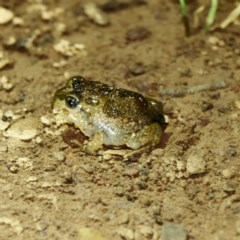 Neobatrachus sudellae (Sudell's Frog or Common Spadefoot) at Majura, ACT - 16 Nov 2020 by DPRees125