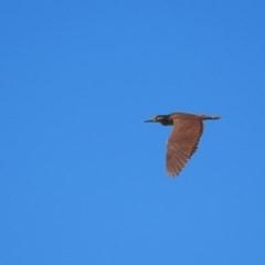 Nycticorax caledonicus (Nankeen Night-Heron) at Bredbo, NSW - 17 Nov 2020 by Graham12