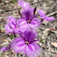 Thysanotus tuberosus subsp. tuberosus (Common Fringe-lily) at Black Mountain - 17 Nov 2020 by RWPurdie
