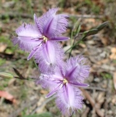 Thysanotus tuberosus subsp. tuberosus (Common Fringe-lily) at Black Mountain - 17 Nov 2020 by RWPurdie