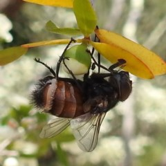 Entomophthora sp. (genus) (Puppeteer Fungus) at ANBG - 18 Nov 2020 by HelenCross