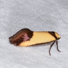 Crepidosceles exanthema at Melba, ACT - 12 Nov 2020