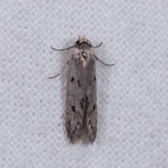 Oecophorinae (subfamily) (Unidentified Oecophorinae concealer moth) at Melba, ACT - 11 Nov 2020 by kasiaaus