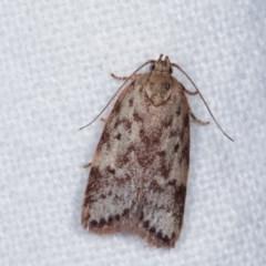Garrha phoenopis (A Concealer moth) at Melba, ACT - 11 Nov 2020 by kasiaaus