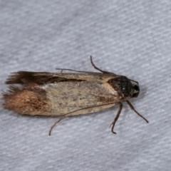 Merocroca automima (A concealer moth) at Melba, ACT - 11 Nov 2020 by kasiaaus