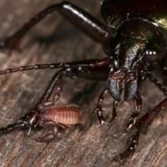 Chernetidae sp. (family) (Chernetid Pseudoscorpion) at Melba, ACT - 11 Nov 2020 by kasiaaus