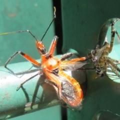 Gminatus australis (Orange Assassin Bug) at Flynn, ACT - 18 Nov 2020 by Christine