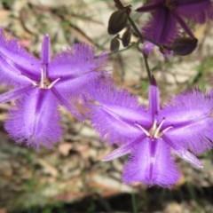 Thysanotus tuberosus subsp. tuberosus (Common Fringe-lily) at Sherwood Forest - 17 Nov 2020 by Christine