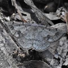 Taxeotis intextata (Looper Moth, Grey Taxeotis) at Paddys River, ACT - 17 Nov 2020 by JohnBundock