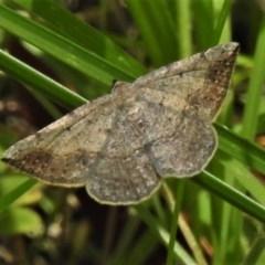 Taxeotis intextata (Looper Moth, Grey Taxeotis) at Tidbinbilla Nature Reserve - 17 Nov 2020 by JohnBundock