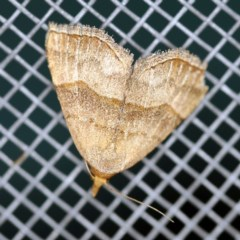 Meranda susialis (Three-lined Snout Moth) at O'Connor, ACT - 3 Nov 2020 by ibaird
