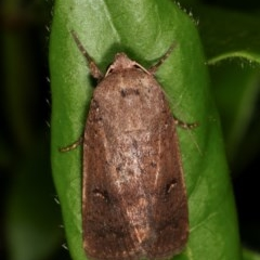 Proteuxoa hypochalchis (An owlet moth) at Melba, ACT - 11 Nov 2020 by kasiaaus
