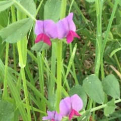 Vicia sativa (Common Vetch) at Giralang, ACT - 18 Nov 2020 by JaneR