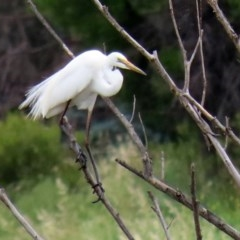 Ardea alba (Great Egret) at Jerrabomberra Wetlands - 16 Nov 2020 by RodDeb