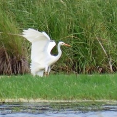 Ardea intermedia (Intermediate Egret) at Jerrabomberra Wetlands - 16 Nov 2020 by RodDeb
