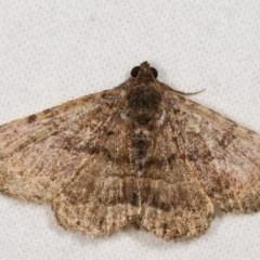Diatenes aglossoides (An Eribid moth) at Melba, ACT - 11 Nov 2020 by kasiaaus
