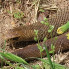 Pseudonaja textilis (Eastern Brown Snake) at Jerrabomberra Wetlands - 16 Nov 2020 by RodDeb