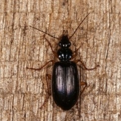 Notagonum submetallicum (Predatory ground beetle) at Melba, ACT - 11 Nov 2020 by kasiaaus