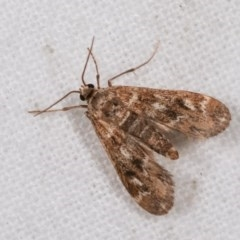 Hygraula nitens (Australian Pond Moth) at Melba, ACT - 11 Nov 2020 by kasiaaus